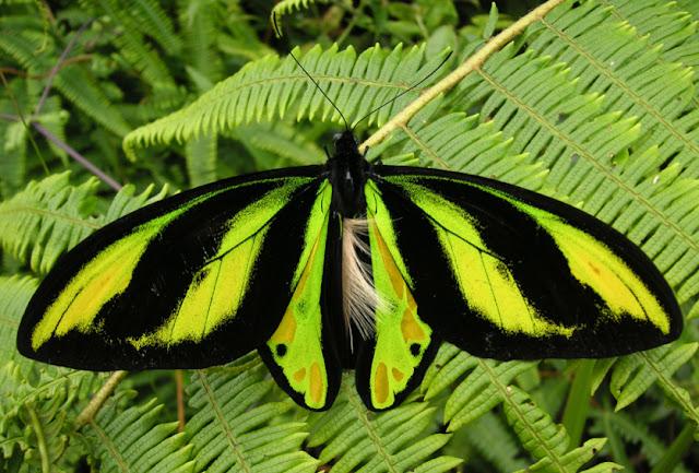 Ornithoptera tithonus misresiana JOICEY & NOAKES, 1916, mâle. Meni, Arfak, août 2007. Photo : Jean Michel
