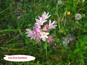 Aille fer, Allium roseum.JPG