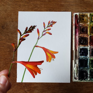 Crocosmia Illustration by Alice Draws The Line