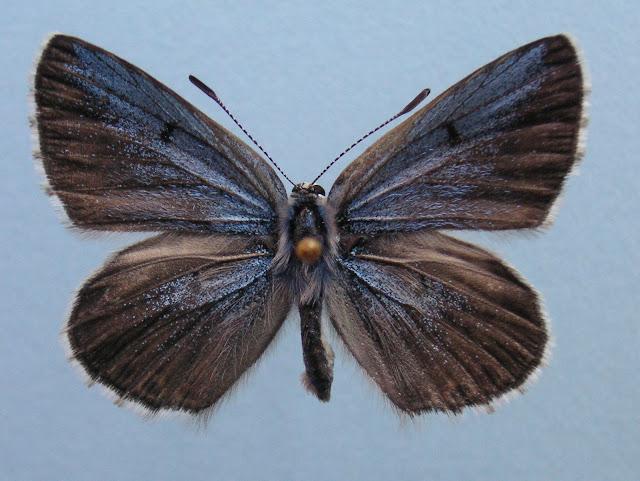"Alpherakya devanica vanjica ssp. nova. Holotype mâle, recto. Tadjikistan, nord-ouest Badakhshan, chaîne de Vanj, Gishkun gorge, 1800 m, (39° 04′ 590"" N, 70° 48′ 740"" E), 16.VII.2008.  Photo : J.-F. Charmeux"