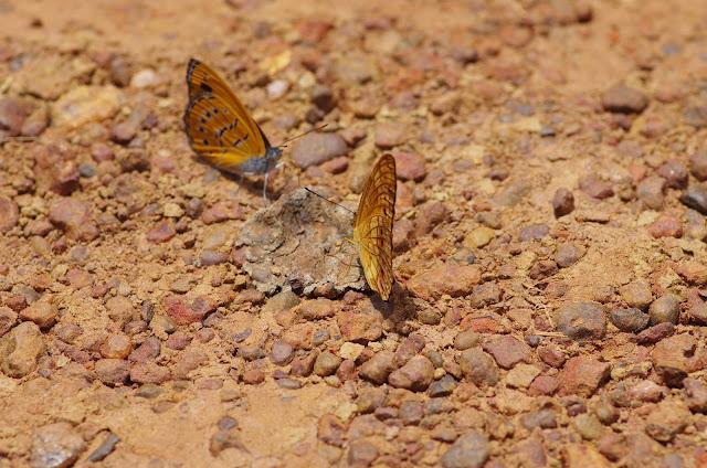 À gauche : Sevenia amulia CRAMER, 1777. À droite : Phalanta eurytis DOUBLEDAY, 1847. Piste vers Ebogo, Cameroun, 8 avril 2012. Photo : J.-M. Gayman