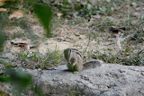 A little Indian squirrel, a common sight at Amarpurkashi