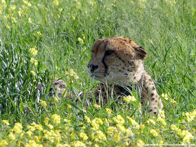 guepardo-cheetah-namibia-erindi.JPG