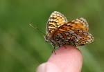 Melitaea phoebe på hånden2.jpg