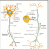 General topography of nervous system