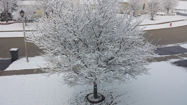 Snow on tree in Chicagoland suburbs on December 2, 2015
