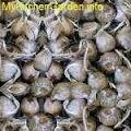 Mature Saffron Corms or Seeds