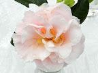 淡桃色 八重 牡丹咲き 散りしべ 極大輪