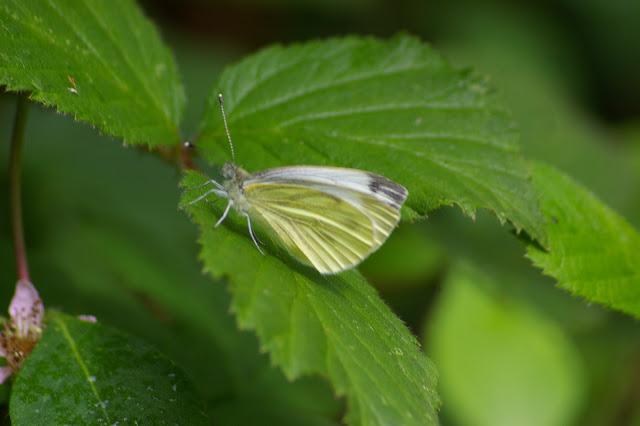 Pieris napi L., 1758, femelle, seconde génération. Les Hautes-Lisières (Rouvres, 28), 21 juin 2011. Photo : J.-M. Gayman