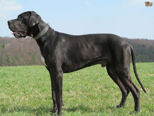 Chó great dane - Những giống chó cảnh đẹp nhất | Loài chó đẹp nhất thế giới