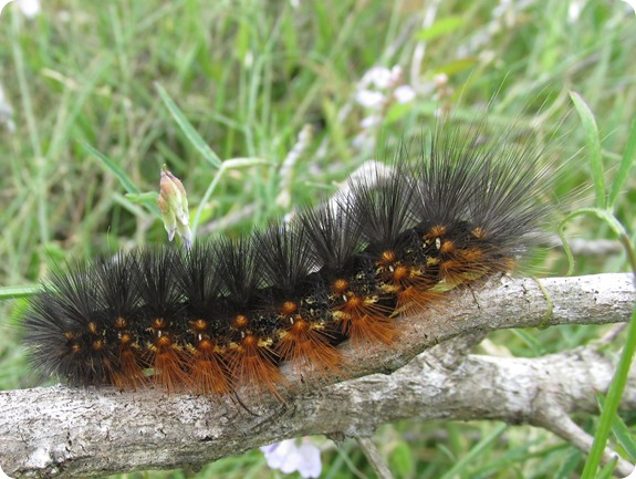 Salt Marsh Caterpillar (1)