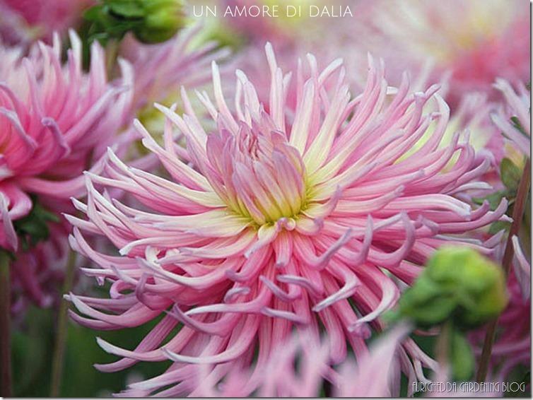 Dahlia Star Favourite