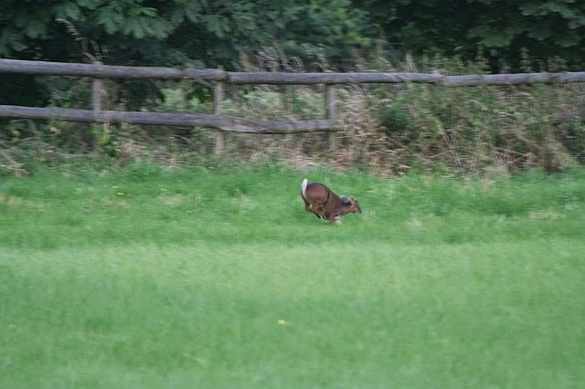 Woodhurst Wildlife Muntjac In The Grassfield - muntjac09.jpg