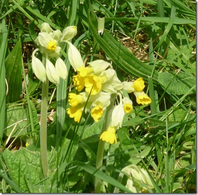 6 cowslips fosse locks area