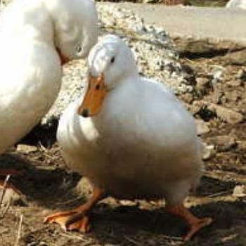 Metzer Farms Duck and Goose Blog: Are My Ducklings' Leg