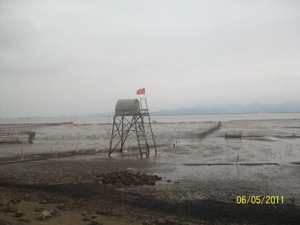 Quy trình nuôi nghêu trắng Bến Tre - khu vực cửa sông Bạch Đằng