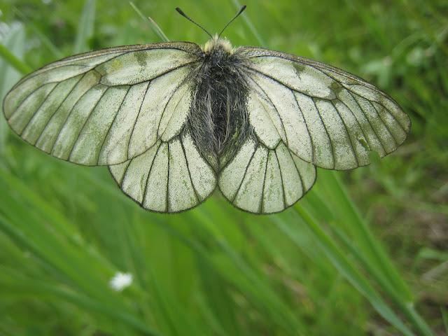 Parnassius stubbendorfii standfussi BRYK, 1912, femelle. Tigrovoy, 21 juin 2011. Photo : G. Charet
