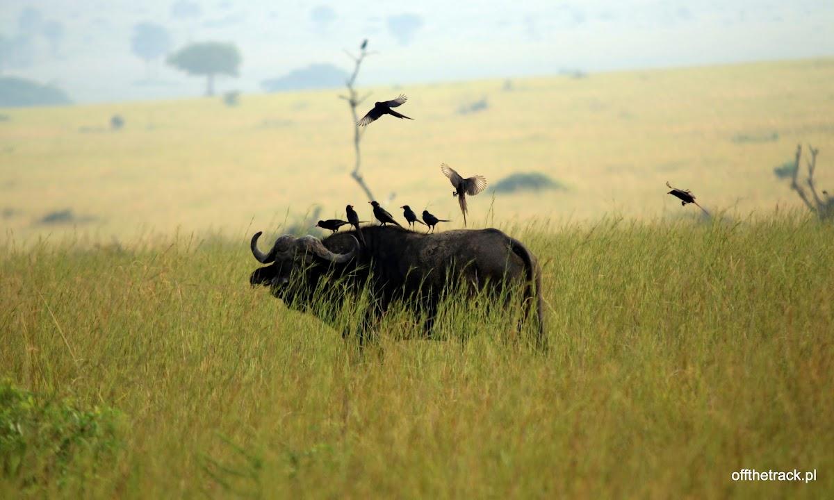 Bawół z ptakami na grzbiecie, park narodowy Murchison Falls, Uganda
