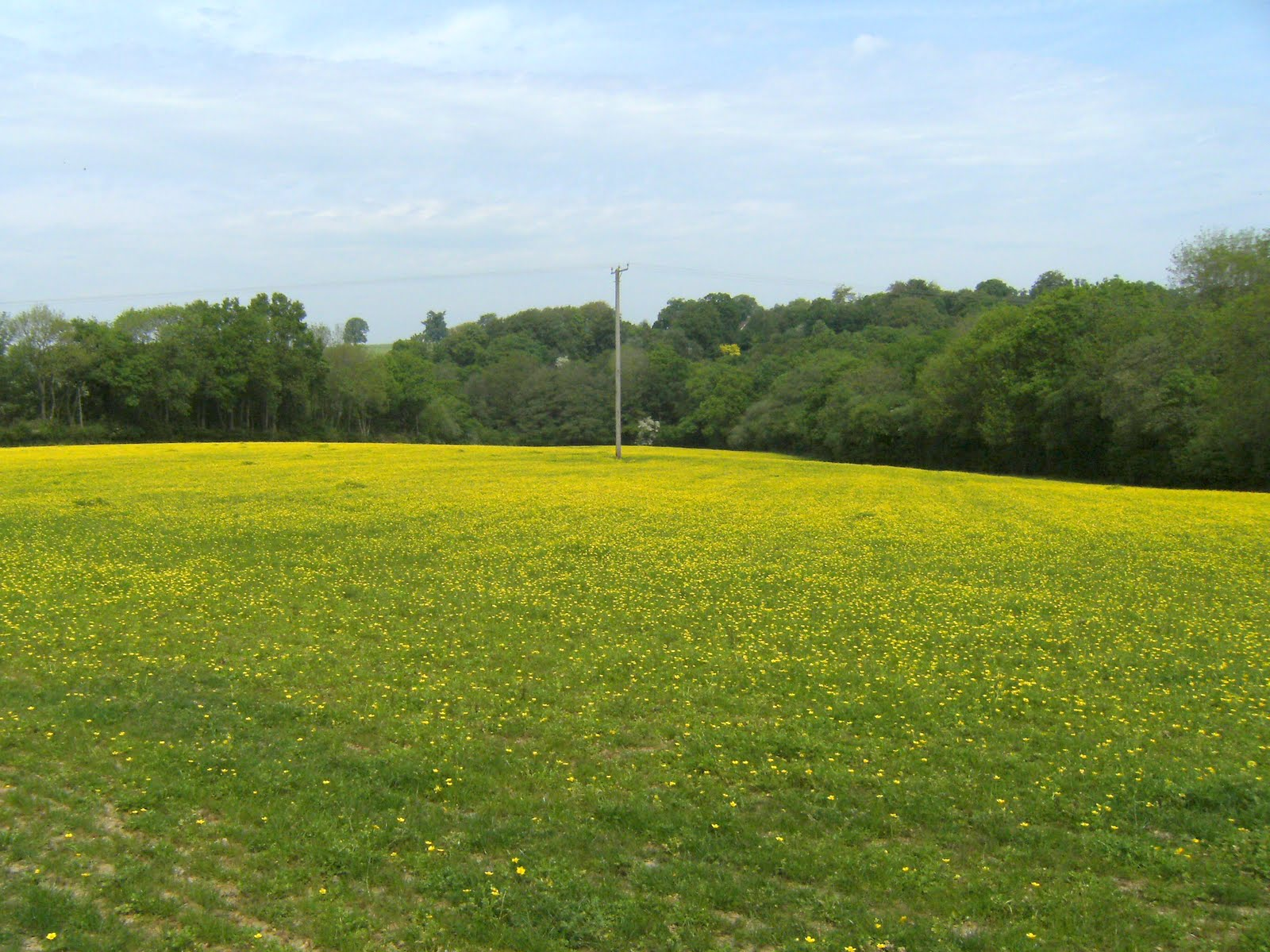 DSCF7808 A sea of yellow near Legg Wood