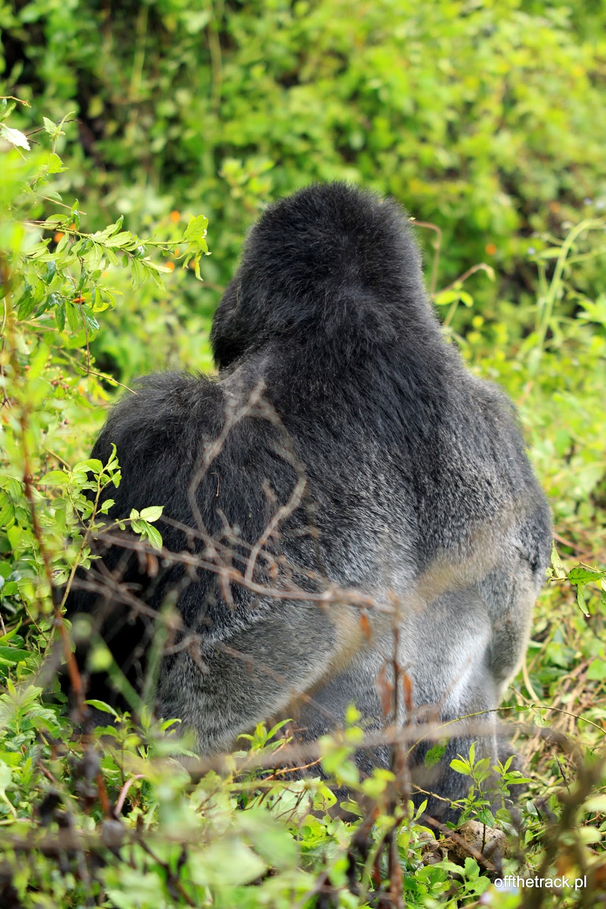 Goryl silverback wśród liści, The Virunga massif region, Uganda