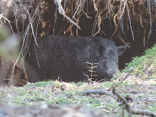 This big boar has a den under a large fallen tree.