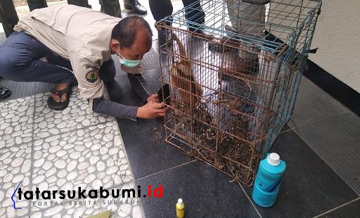 Penanganan Satwa dilindungi yang nyaris punah jenis Kukang Jawa (Nycticebus Javanicus) // Foto : Asep M-Rhe