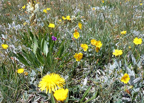 Blüten von Bergblumen, Kirgistan