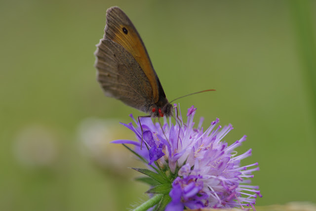 Maniola jurtina (L., 1758), mâle, parasité par des acariens. Hautes-Lisières (Rouvres, 28), 8 juillet 2012. Photo : J.-M. Gayman