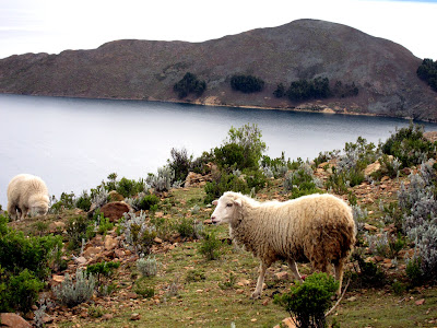 Sheep grazing on the Isla del Sol on Lake Titicaca in Bolivia