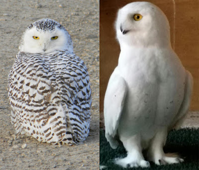 Snowy owl coloration differences... juvenile female on left and adult male on right.