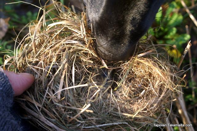 peltomyyrän talvipesä
