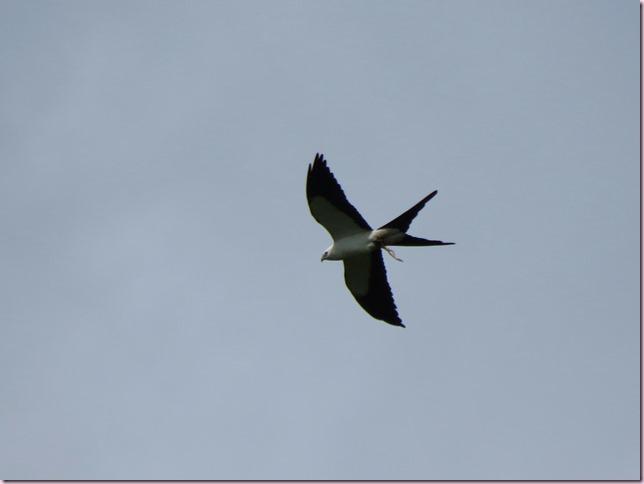 swallowtailIMG_6728