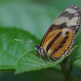 Eresia eunice eunice (HÜBNER, [1807]). Patawa (Montagne de Kaw), 25 octobre 2012. Photo : J.-M. Gayman