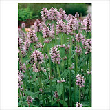 "Stachys Officialis  ""Rosea"" Чистец 60 см"
