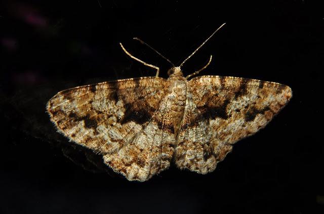 Geometridae : Ennominae : Boarmiini. Probablement : Gastrinodes argoplaca MEYRICK, 1892. Umina Beach (NSW, Australie), 8 mai 2011. Photo : Barbara Kedzierski