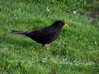Blackbird, Amsterdam, © Copyright, Shelley Banks, all rights reserved.