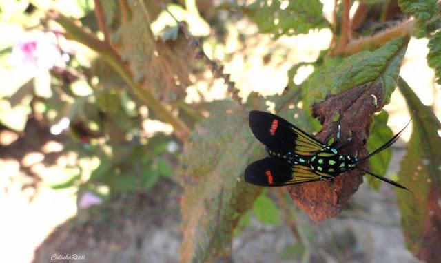 Arctiinae : Ctenuchini : Belemnia crameri BUTLER, 1875. Colider (Mato Grosso, Brésil)