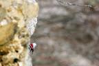 L'OISEAU PAPILLON   Tichodrome échelette à la recherche d'insectes sur une falaise jurassienne, hiver 2015-2016