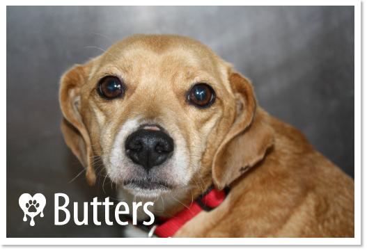 Butters is a female Pomeranian Beagle mix.