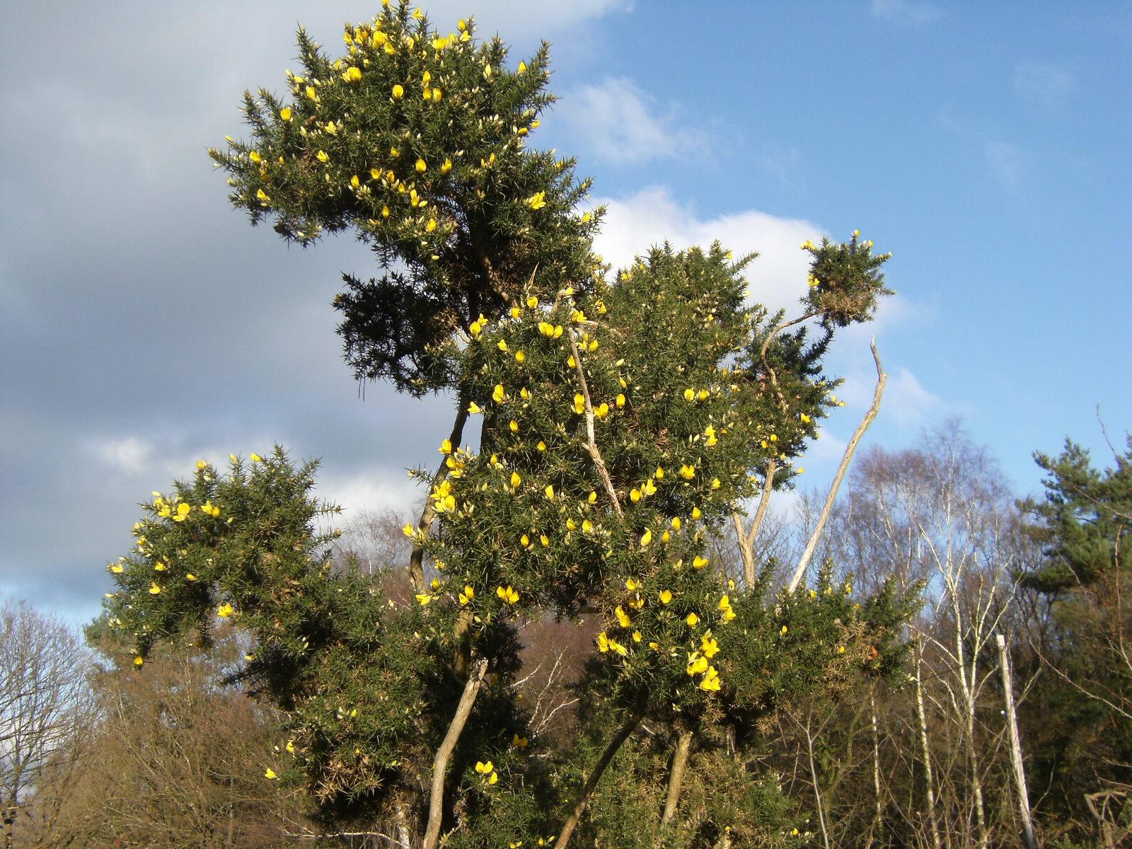 1101280070 Winter-flowering gorse on Ashdown Forest