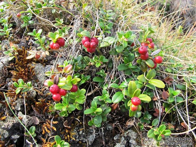 fructe de munte: merişoare