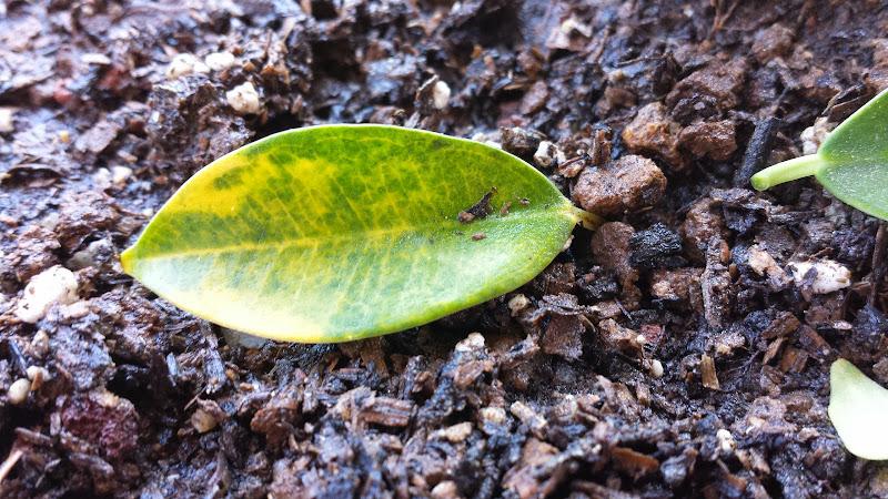Ficus con hojas amarillentas  20130918_130843