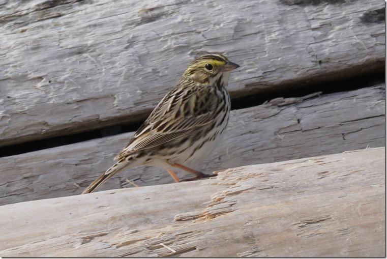 lopez savanah sparrow 041718 00001