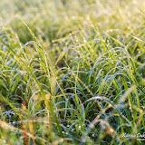 Росистая трава