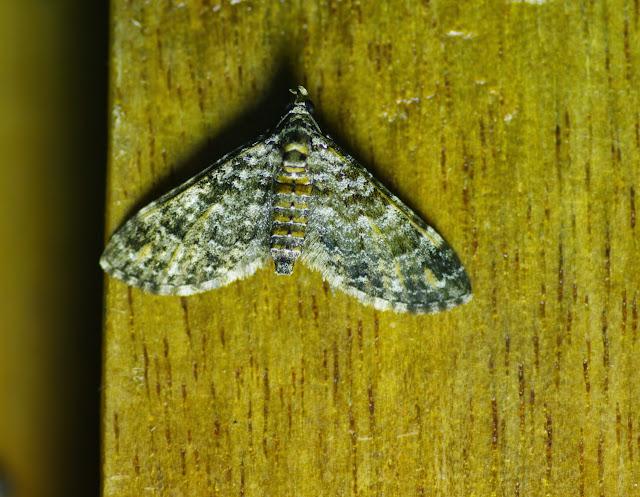 Larentiinae : Eupithecia sp. Mount Totumas, 1900 m (Chiriquí, Panamá), 20 octobre 2014. Photo : J.-M. Gayman