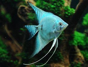 Hinh anh: Ca Thien Than Xanh Blue Angelfish