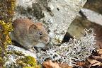 REPAS DE LICHENS   En hiver, les campagnols roux mangent des écorces et des lichens