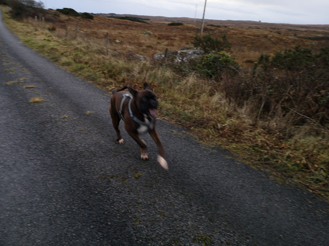 happy out running wild and playing young boxer dog