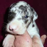 Harlequin male @ 3 1/2 weeks/available