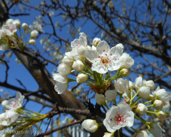White Pear Blossoms Photo